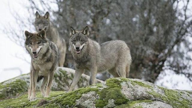 El lobo y el efecto Dunning-Kruger. Antonio de Miguel Antón